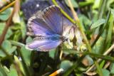 Blue Tussock Butterfly