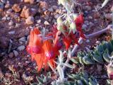 Sturts Desert Pea - Ningaloo
