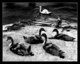 Bords de MarneFamille cygne 5
