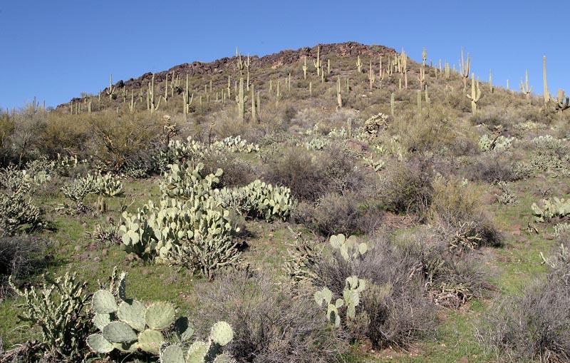 Prickly Pear & Saguaros
