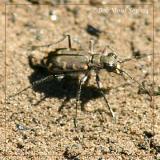 Brown Tiger Beetle