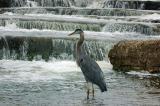 Blue Heron in Rapids.jpg
