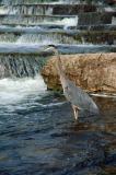 Blue Heron under Waterfalls.jpg
