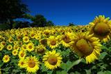 Field of Sunflower Faces.jpg