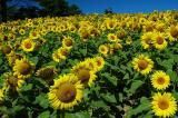 Sunflower Farm Meadow.jpg