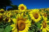 Tallest Sunflower.jpg