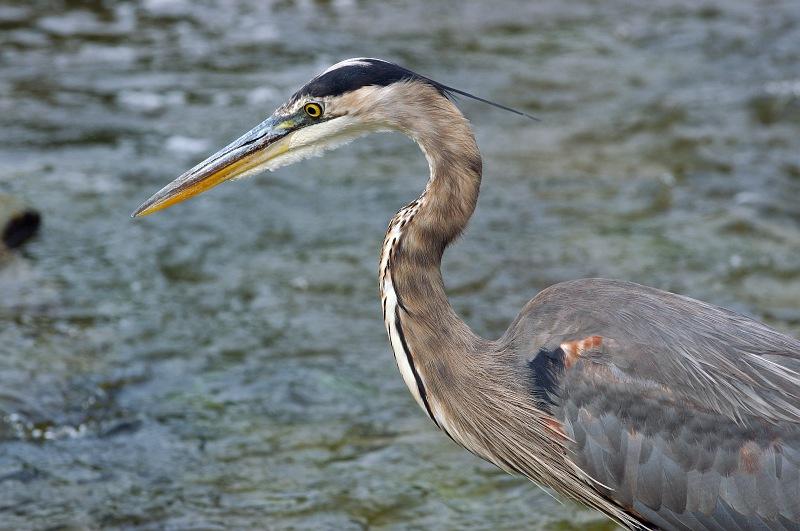 Blue Heron Hunting.jpg