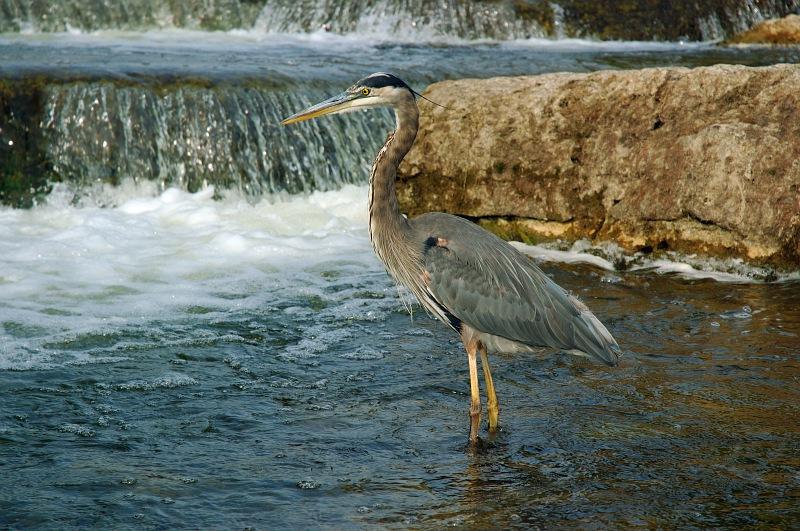 Blue Heron Stalking.jpg
