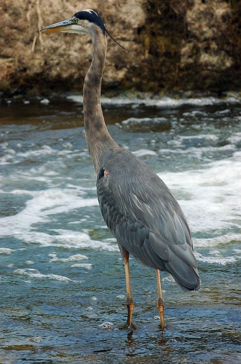 Blue Heron Walking.jpg