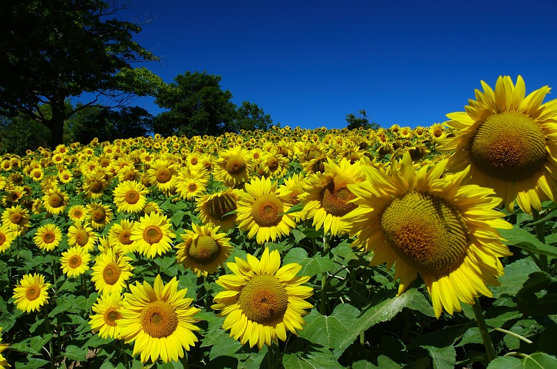 Field of Sunflower Faces.jpg
