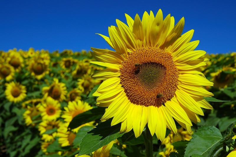 Two Bees on Sunflower.jpg
