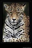 Jaguar Print I
