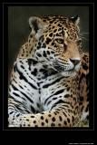Jaguar Print II