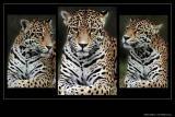 Jaguar Montage I