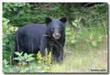 Ours noir / American Black Bear