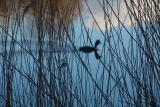 Bird behind reed