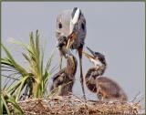 Nest 2 - Chicks asking for food