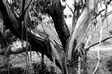 Shedding gum tree in Blue Mountains