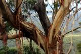 Gum tree shedding bark in Blue Mountains