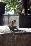 Monkey at Dambulla temple