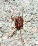 Erythraeidae