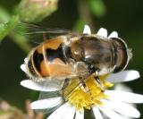 Eristalis arbustorum (male)