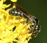 Small Carpenter Bee - Ceratina calcarata or dupla