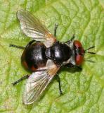 Gymnosoma  sp.
