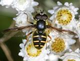 Sericomyia chrysotoxoides (male)
