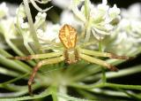 Mecaphesa asperata (male)