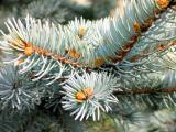 pine plant.jpg