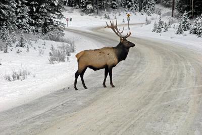 Elk crossing ...