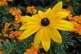 Blackeyed Susan and guest ....