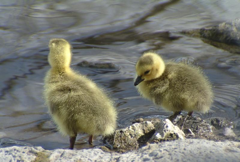 wild goslings at Pocatello Zoo, not captive DSCF0046.jpg