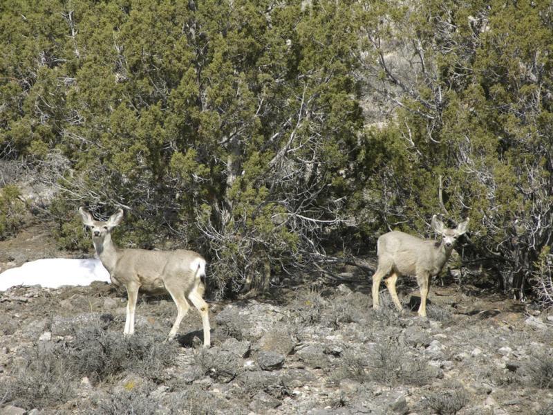 Mule Deer in Arbon Valley DSCN0219.jpg