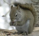 Red squirrel Pocatello Idaho DSCN0048.jpg