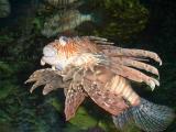 Fanned fish, Sea World, Orlando, FL