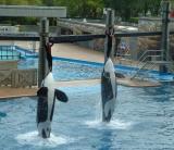 Memorable photo: Whales standing tall, Sea World, Orlando, FL