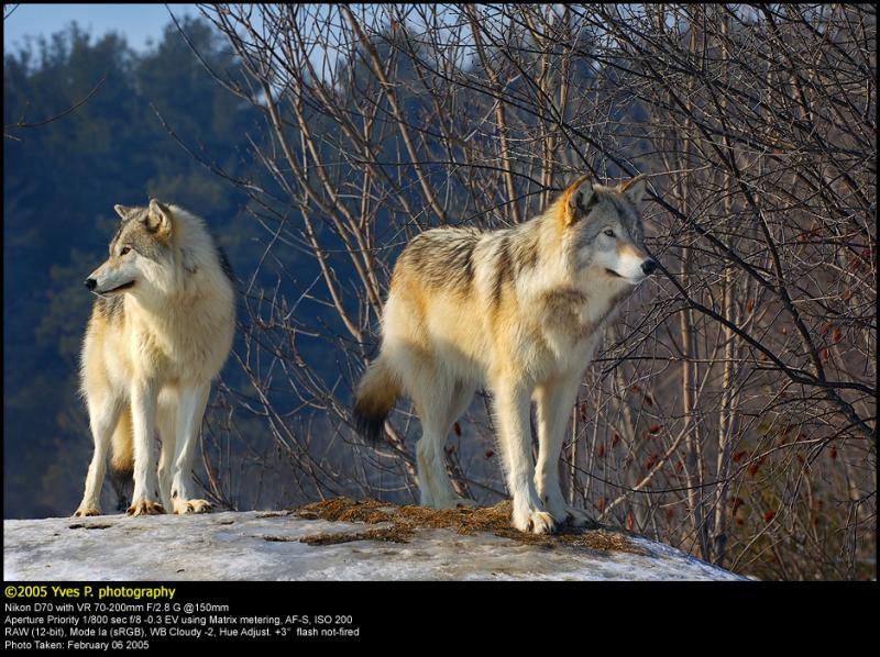 Wolf Couple ...  February 2005
