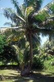 Coconut Tree in Bechiyal Village