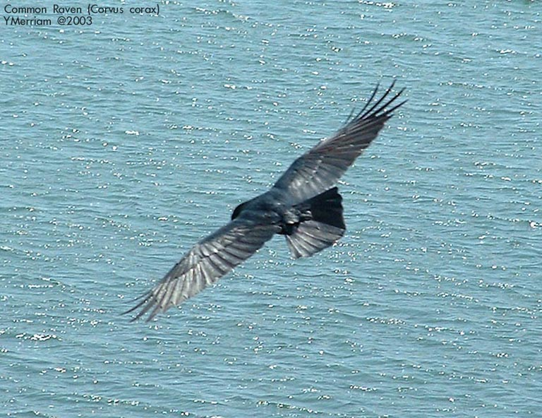 Soaring With the Ravens