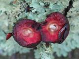 Gall split in half to reveal larva