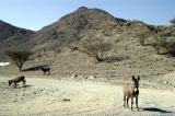 Free roaming donkeys