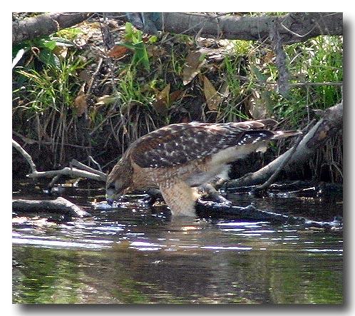 hawk-fishing