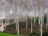 Birches, Bercy