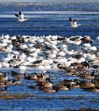 Snow and Canadian Geese