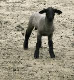 Sheep - 3