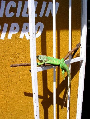 Iguana on Stick Outside Drugstore