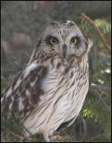 Short-eared Owl portrait 2661.jpg
