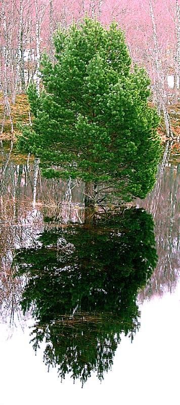 Tree reflection Lochan Mhor